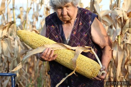 bukta_imre_gm_kukorica_gm_corn_by_imre_bukta
